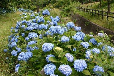 【あじさい・見ごろ】和歌山市森林公園