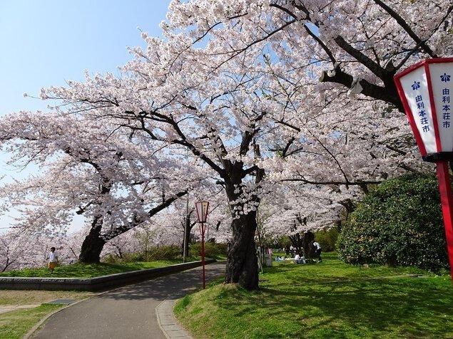 本荘公園の桜