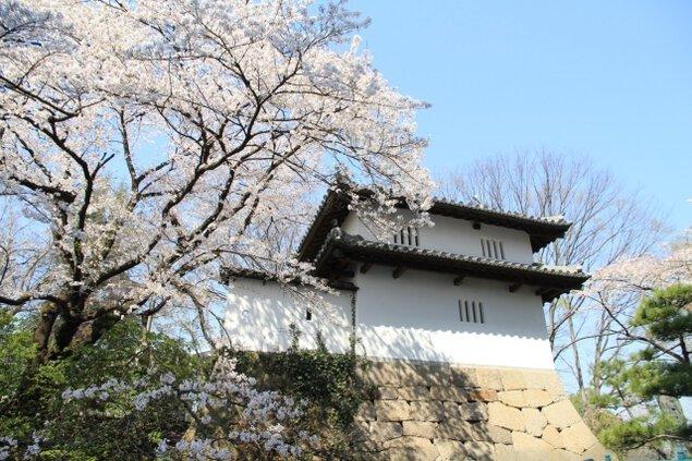 【桜・見ごろ】高崎城址公園