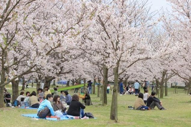 【桜・見ごろ】向島運動公園