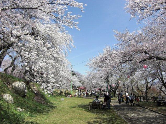 【桜・見ごろ】烏帽子山公園