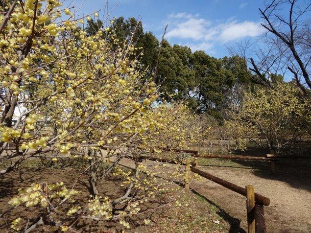 【花・見ごろ】所沢航空記念公園 ロウバイ