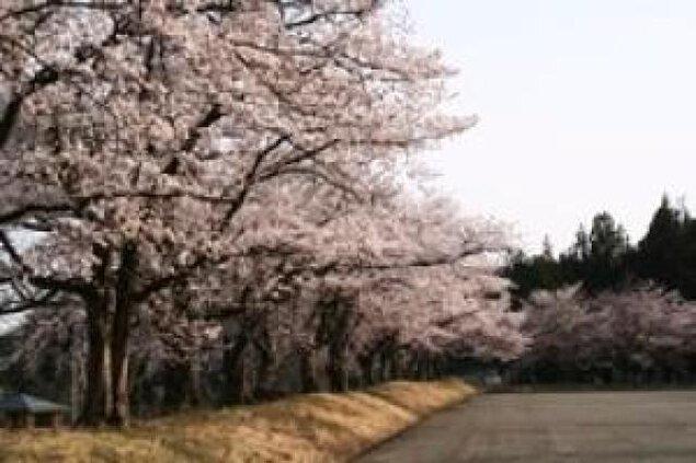 【桜・見ごろ】巴ヶ丘