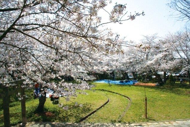 【桜・見ごろ】丸山公園