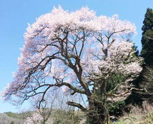 【桜・見ごろ】祝原のエドヒガン