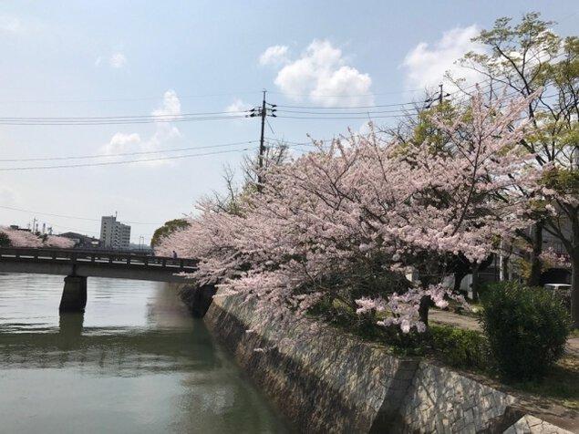 【桜・見ごろ】真締川公園
