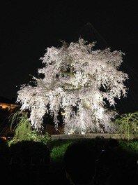 円山公園の桜(京都府)