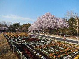 蘆花恒春園の桜