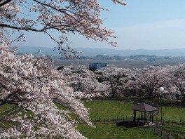 御本丸公園の桜(宮城県)