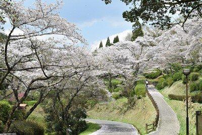 大津山公園の桜
