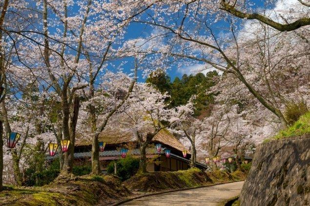 【桜・見ごろ】花筐公園