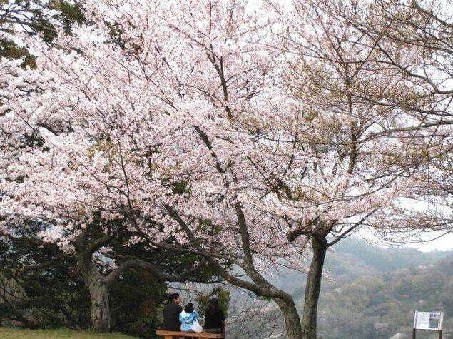 【桜・見ごろ】浜田城山公園