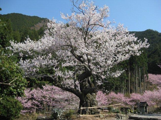 【桜・見ごろ】春谷寺のエドヒガン桜