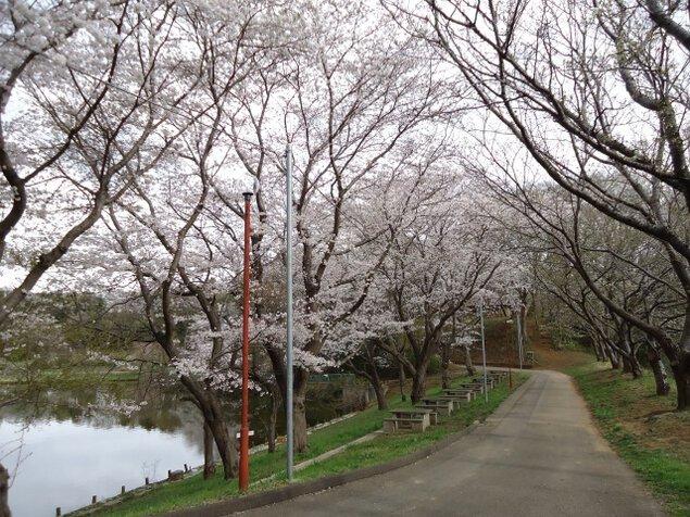 【桜・見ごろ】水海道あすなろの里