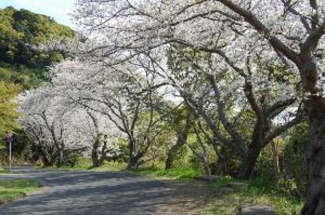 【桜・見ごろ】水俣市チェリーライン(湯の児チェリーライン)