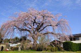 原田家のしだれ桜