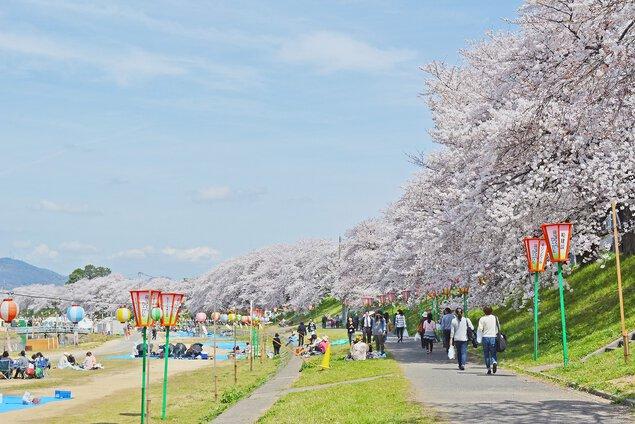 旭川さくら道の桜