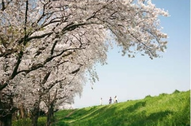 【桜・見ごろ】乗附緑道