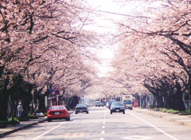 【桜・見ごろ】宇大工学部前桜並木