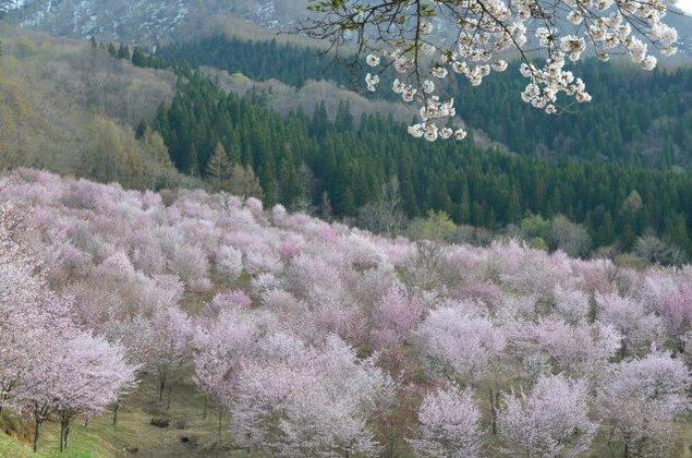 桜峠桜まつり2019