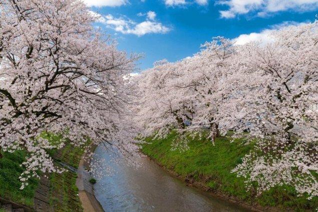【桜・見ごろ】吉野瀬川