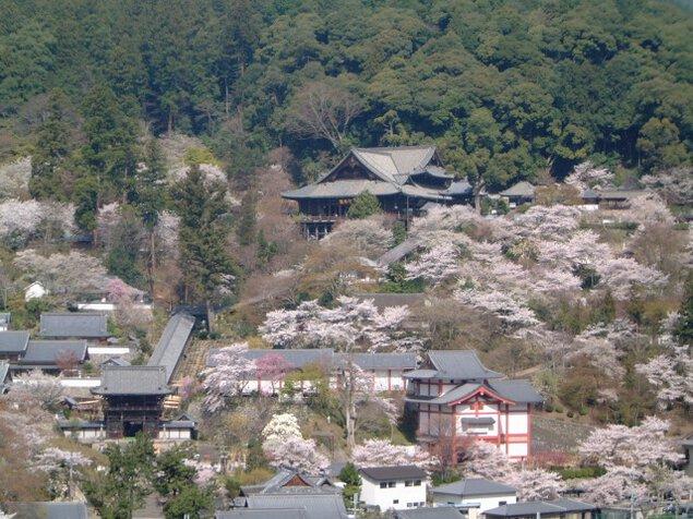 【桜・見ごろ】長谷寺