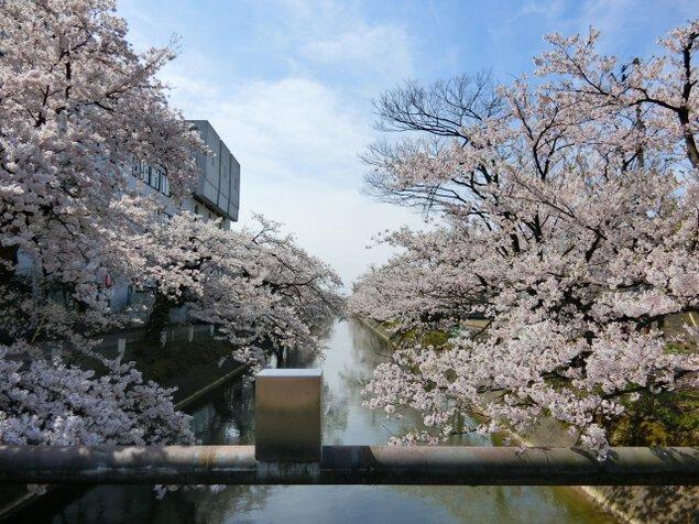 【桜・見ごろ】福島江沿い