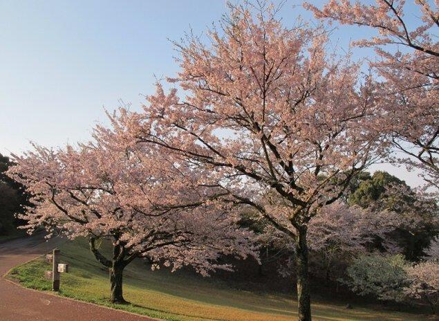 【桜・見ごろ】鏡山