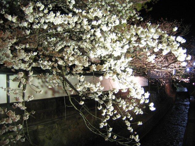 春の江名子川ライトアップ