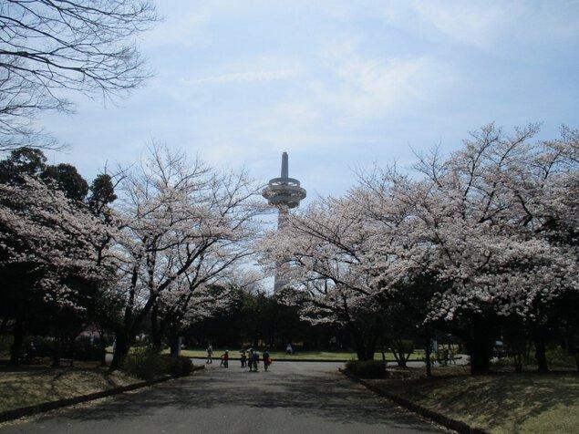 所沢航空記念公園の桜