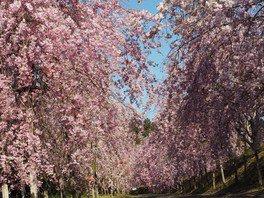 【臨時休園】たけべの森公園の桜
