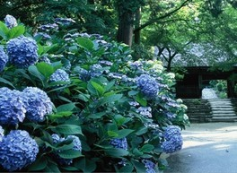 東大寺別院阿弥陀寺 あじさいまつり・花供養