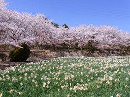 いこいの村はりまの桜