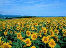 【花・見ごろ】朝日ヶ丘公園周辺のひまわり