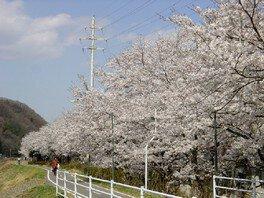 久慈川河川敷の桜並木の桜