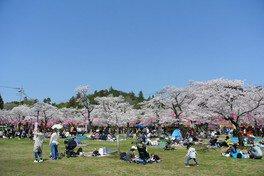 天覧山・中央公園の桜