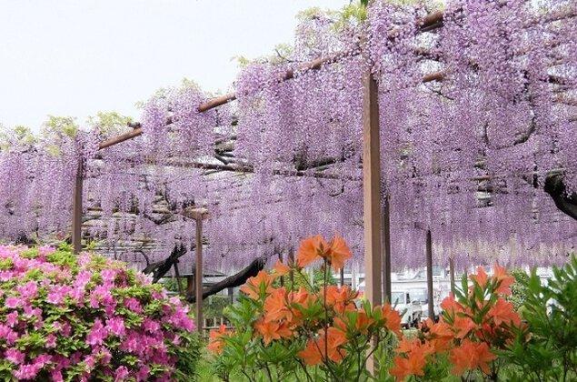 須賀の園 藤まつり