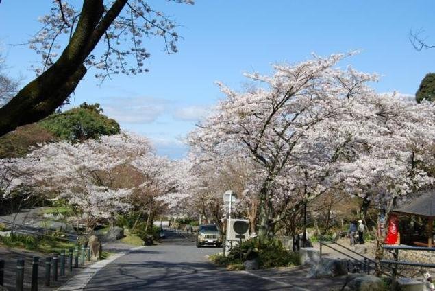 【桜・見ごろ】長等公園