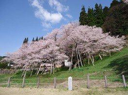 【臨時休園】臥龍桜
