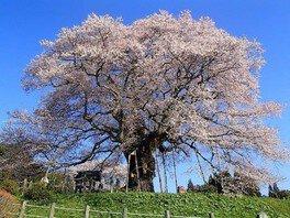 青空を背景に薄桃色の花びらを咲かせる
