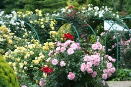 【花・見ごろ】修善寺虹の郷「ロイヤル・ローズ・ガーデン」のバラ