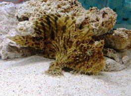 カエルアンコウ水槽特別展示