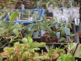 食虫植物の栽培相談会・即売会