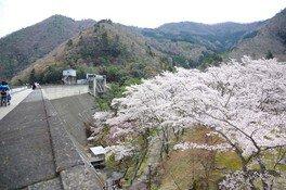 大野ダム公園の桜