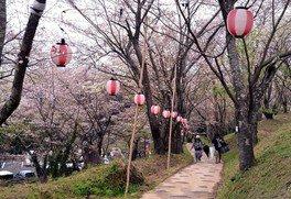 桜ヶ丘グラウンドの桜