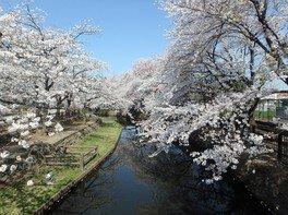 若泉公園の桜