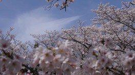 石上神宮外苑公園の桜
