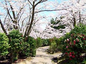 【桜・見ごろ】加茂山公園