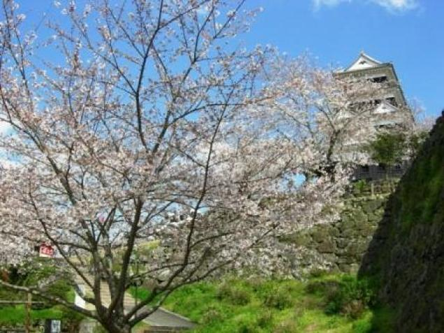 【桜・見ごろ】大洲城山公園