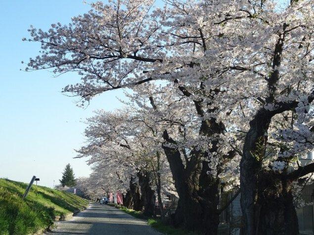 【桜・見ごろ】最上川堤防千本桜
